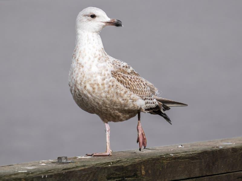Zdradzony seagull zdjęcie stock