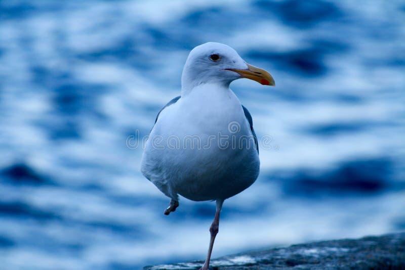 Zdradzony Zachodni Seagull na Catalina wyspie obrazy royalty free