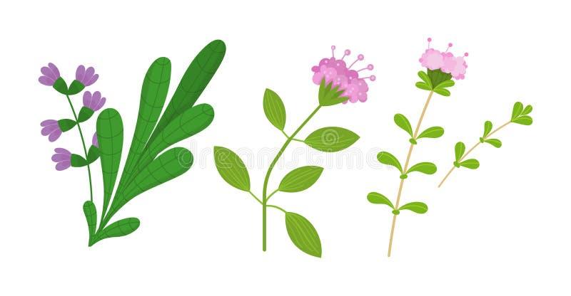 Zdrowa, ekologicznie ?yczliwa naturalna ro?linno??, Macierzanka, oregano, mędrzec ilustracja wektor