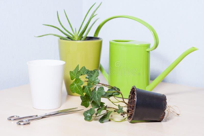 Zdrowa przyglądająca zieleń puszkować rośliny zdjęcia stock