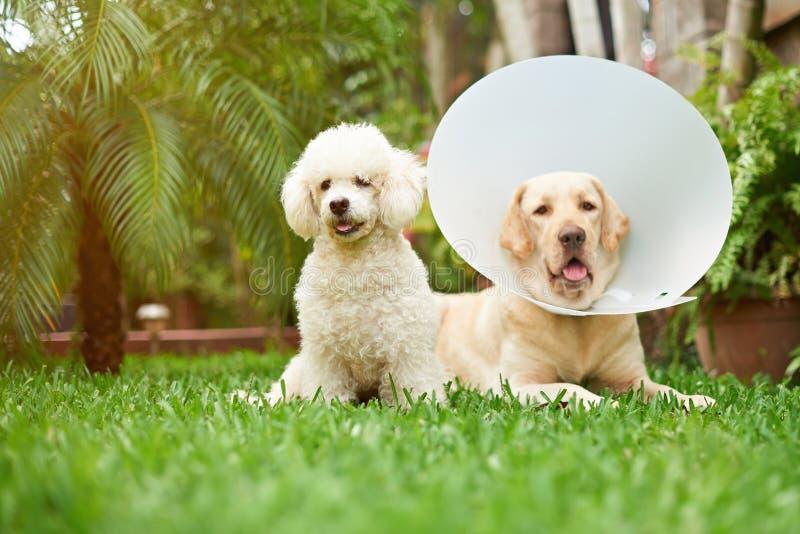 Zdrowi psy kłaść na trawie obrazy stock