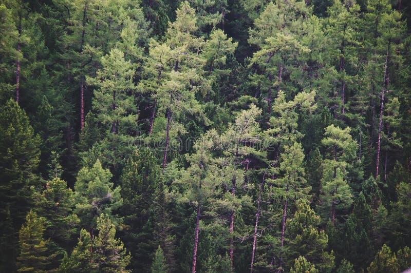 Zdrowi zieleni drzewa w lesie stara świerczyna, obrazy stock