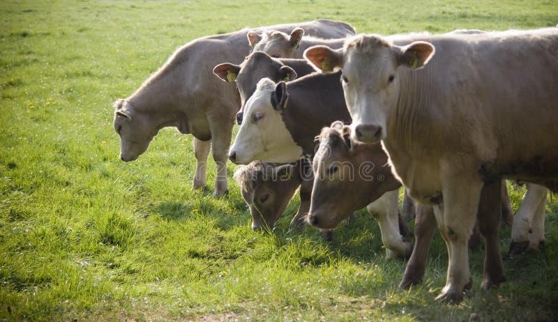 Zdrowy bydła bydlę, Idylliczny Wiejski, UK fotografia royalty free