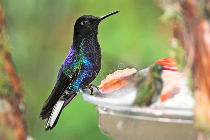 Zdumiewający hummingbird na dozowniku w Ekwador fotografia royalty free