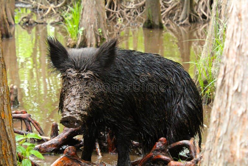 Zdziczała świnia obrazy stock