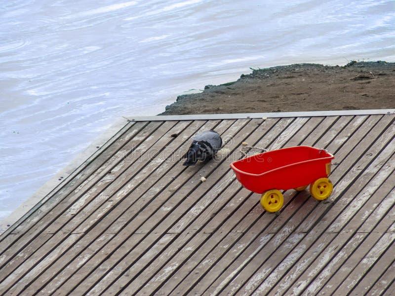 Zdziczała gołąbka na molu Gołębi łasowania jedzenie na molu Selekcyjna ostro?? zdjęcie stock
