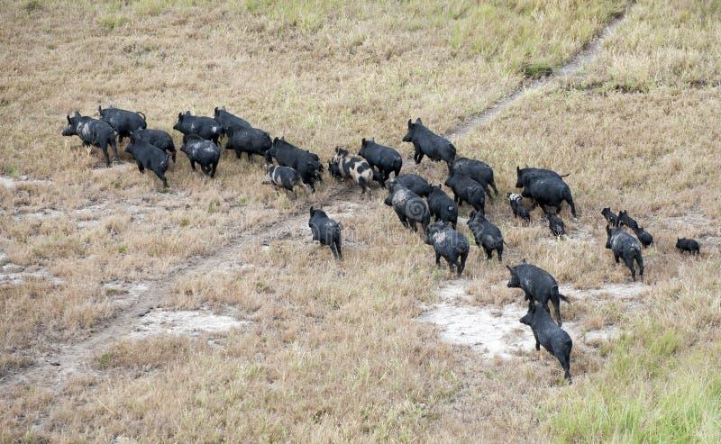Zdziczałe świnie obrazy stock