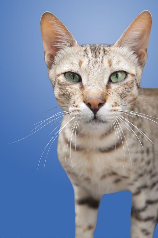 Zdziczały kot Odizolowywający zdjęcia stock