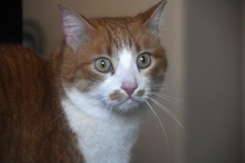 Zdziczały kota portret zdjęcia stock