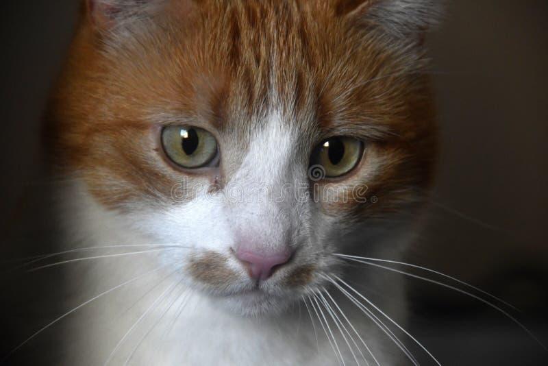 Zdziczały kota portret fotografia stock