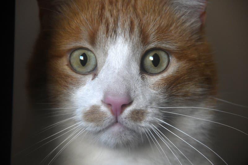 Zdziczały kota portret obrazy stock