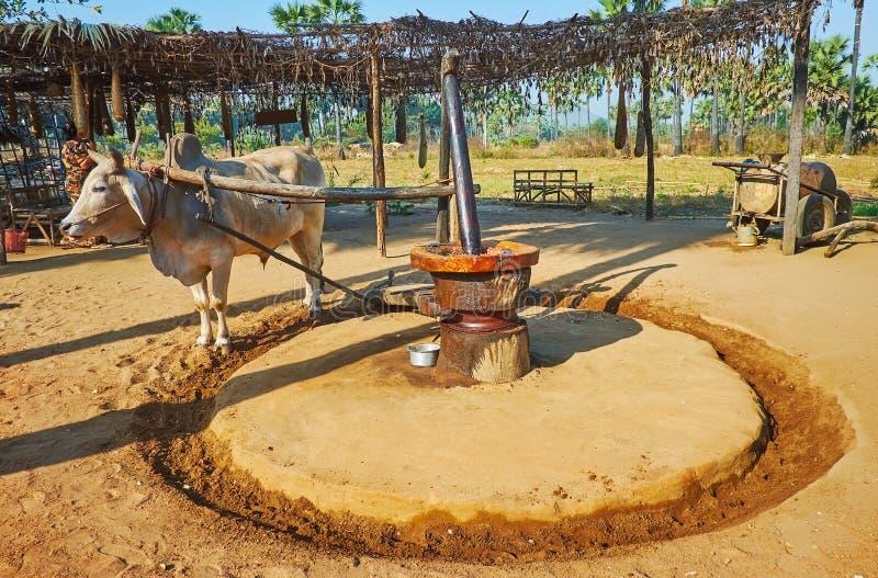 Zebù all'oleificio primitivo, Bagan, Myanmar fotografie stock libere da diritti