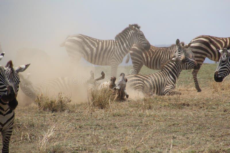 Zebr bawić się obraz stock