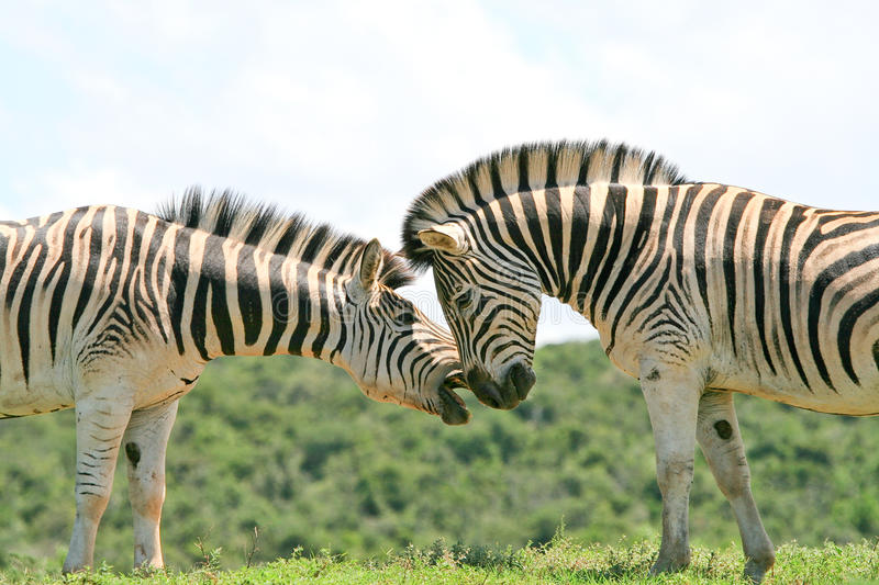 Two Zebra sparring. Two Burchells zebra colts try to bite each other in Addo Elephant National Park in South Africa stock photography