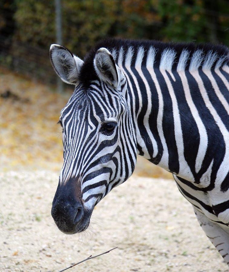 Free Zebra 1 Stock Photography - 1459872