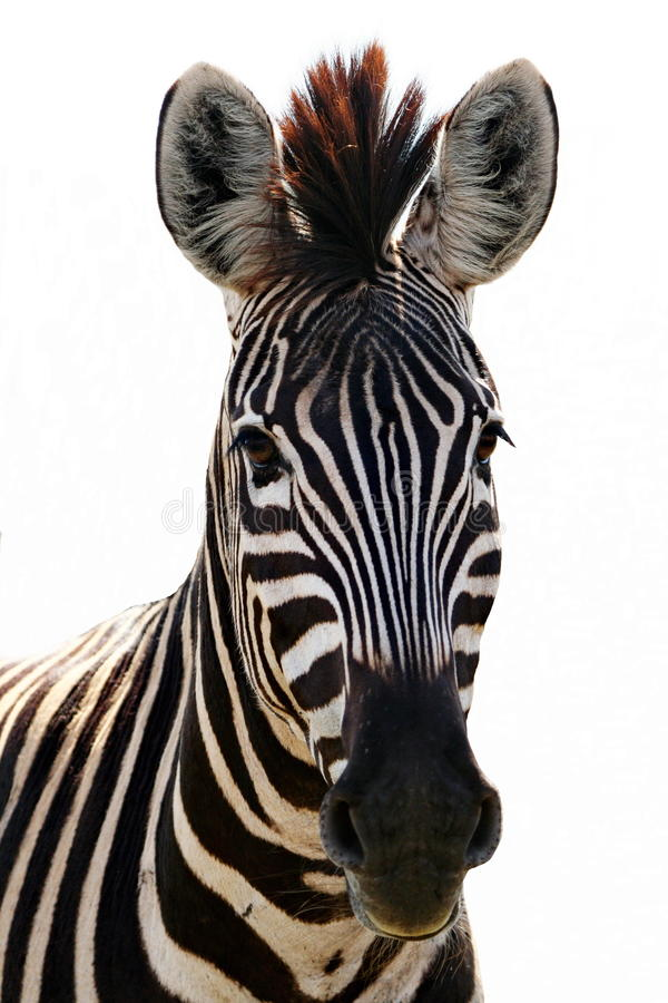 Free Zebra Royalty Free Stock Photos - 11656948