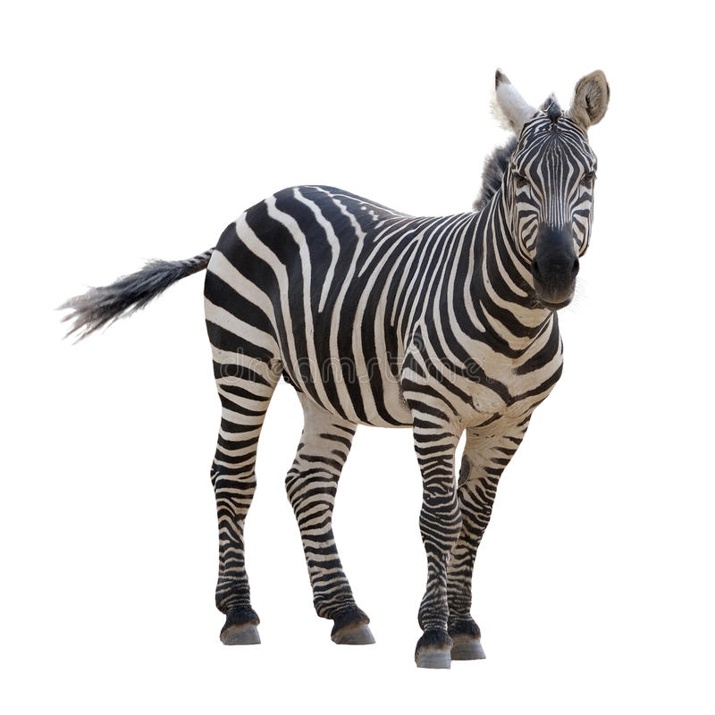 Download Zebra Stock Photography - Image: 11825562
