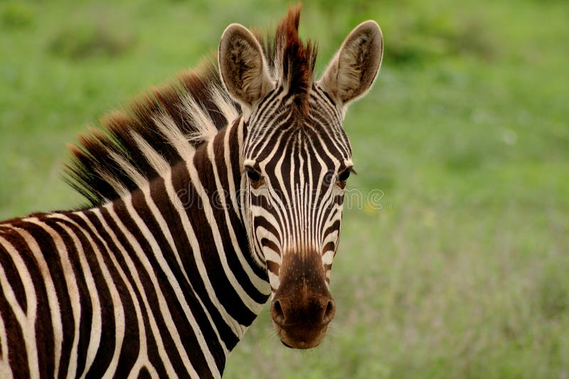 Zebra. In the northern parts of South Africa's Kruger National Park