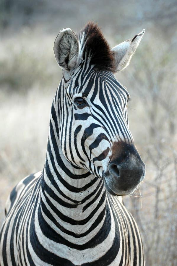 Zebra. At Kruger National park, South Africa stock photos