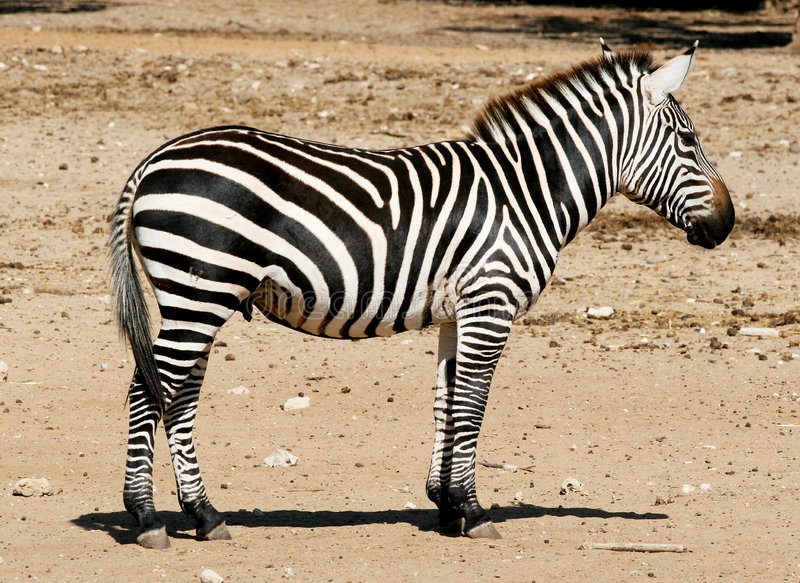 Download Zebra stock image. Image of stripes, horse, africa, fast - 1404033
