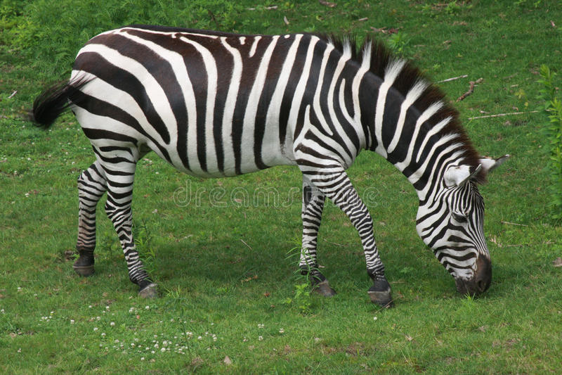 Download Zebra stock photo. Image of distinct, game, eating, african - 14619686