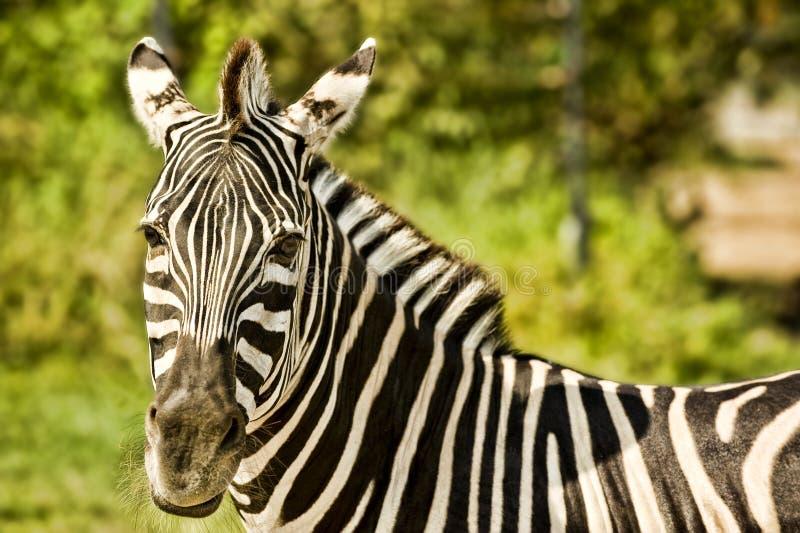 Download Zebra Stock Images - Image: 17501564