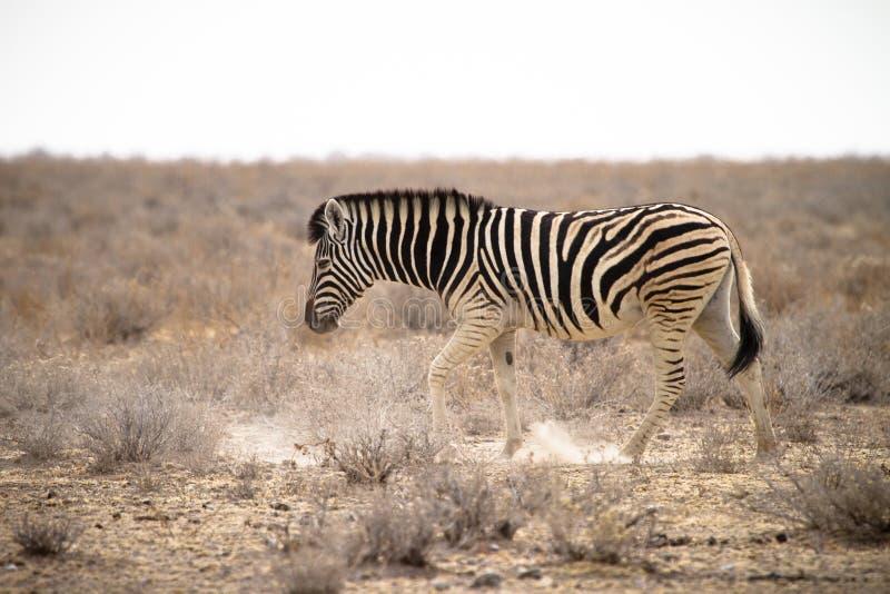 Download Zebra stock photo. Image of serengeti, dust, nature, pasture - 18386724