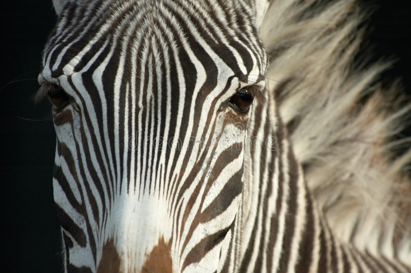 Zebra. Close-up of a beautiful zebra