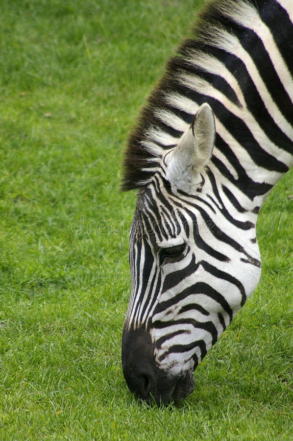 Download Zebra 2 stock photo. Image of profile, zebra, animal, grass - 182338