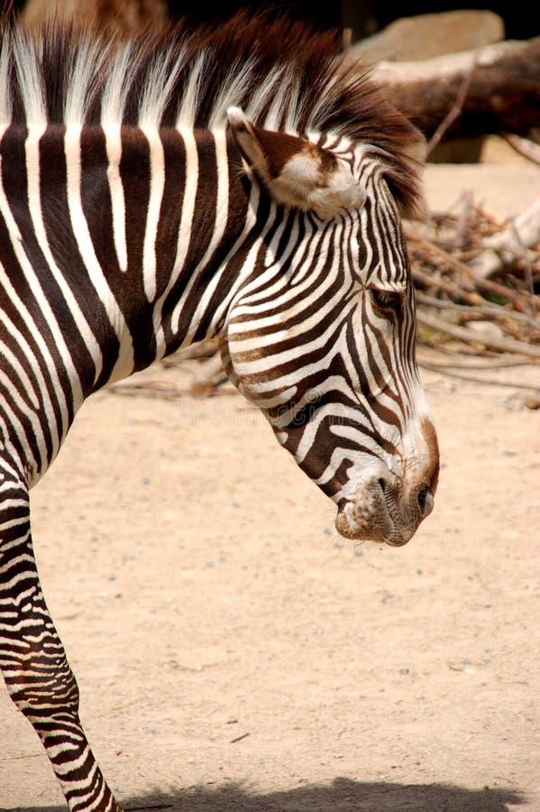 Zebra 2 immagine stock