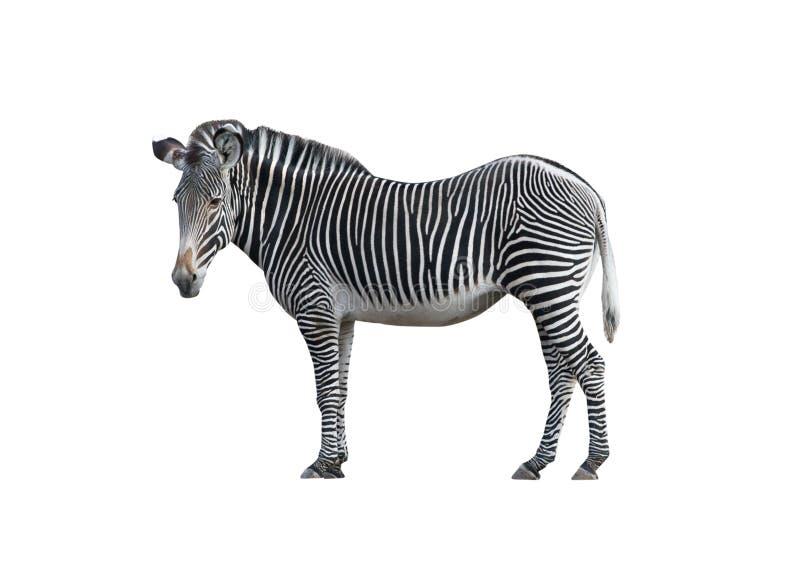 Zebra 2 lizenzfreie stockbilder