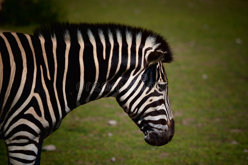 Zebra. A photo of a Zebra shot from the side with a green background stock photo