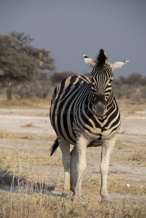 Download Zebra stock photo. Image of standing, black, white, northern - 20954948