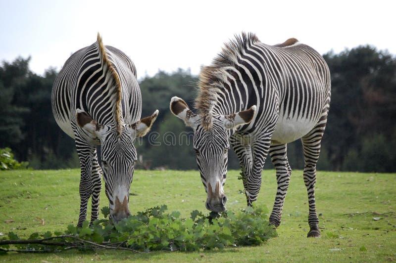 Download Zebra stock image. Image of diner, meal, adventure, walking - 22950957