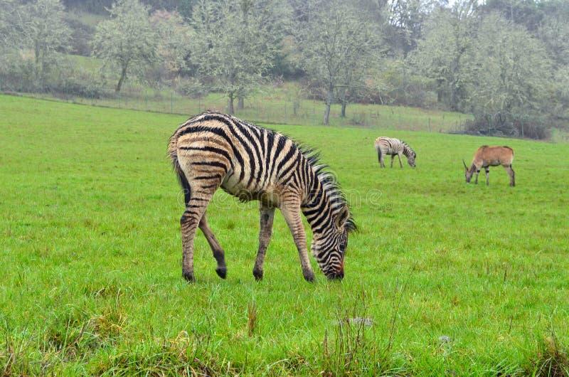 Download Zebra stock photo. Image of plains, wildlife, zebra, graze - 24141956