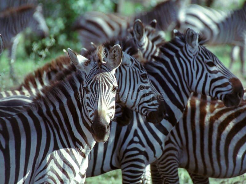 Zebra. At Serengeti Gamereserve in Tanzania royalty free stock photo