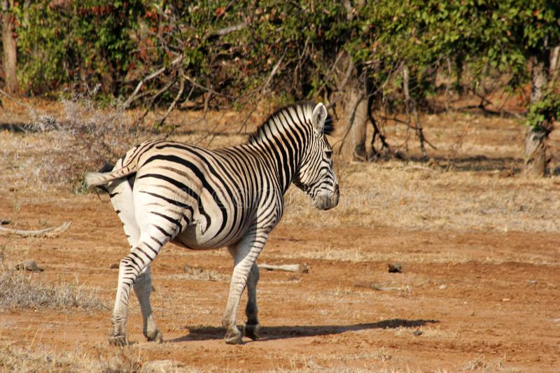 Zebra Free Stock Photo