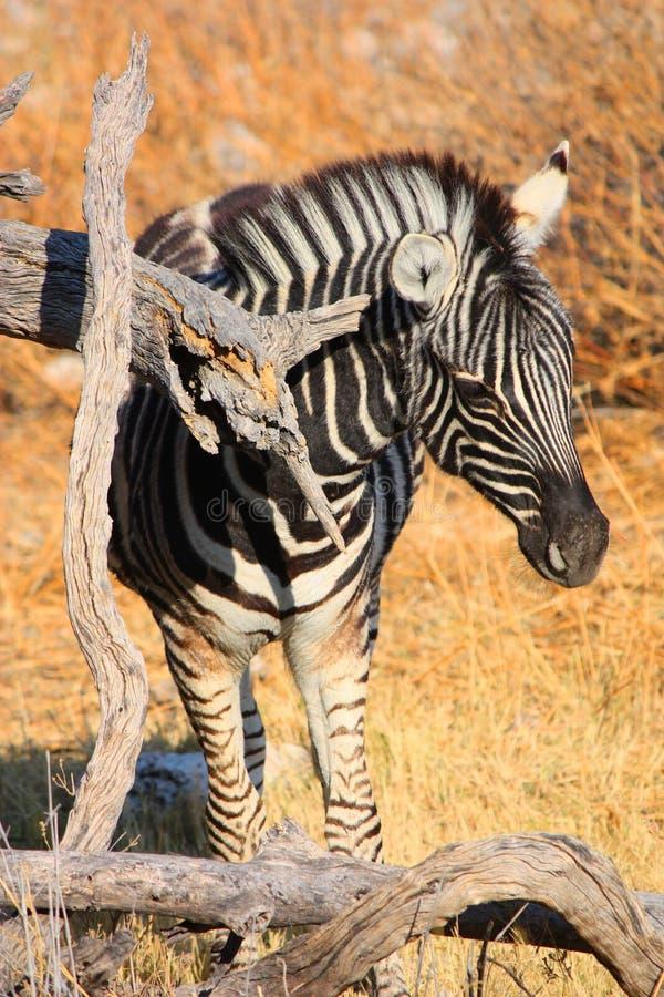 Download Zebra Royalty Free Stock Photo - Image: 26525645