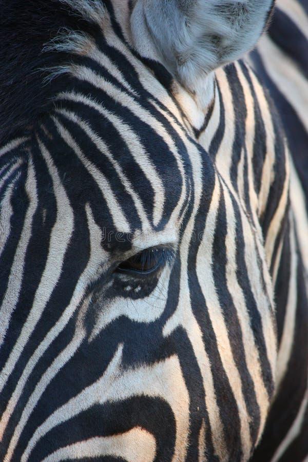Download Zebra stock image. Image of hole, national, stripes, black - 26525915