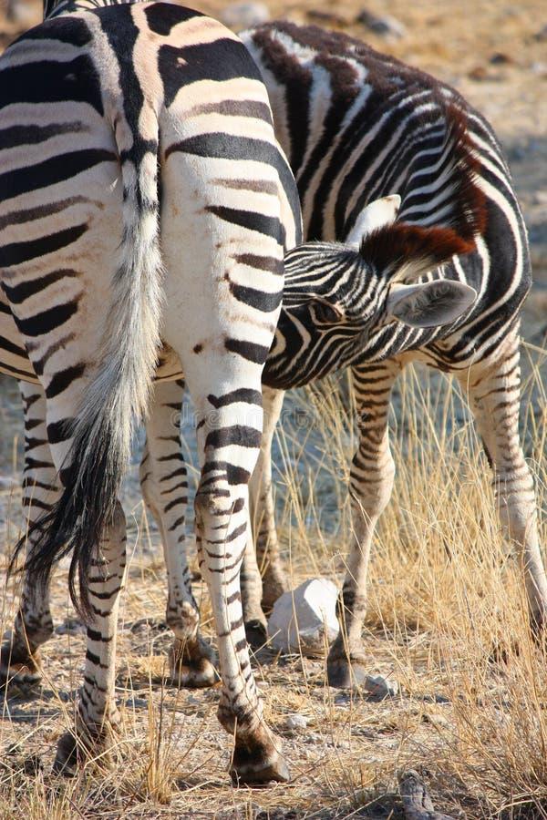 Download Zebra stock photo. Image of stripes, waterhole, travel - 26526306