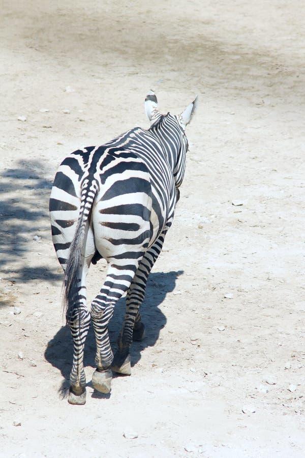 Download Zebra stock photo. Image of equine, neddy, nature, horse - 26986396