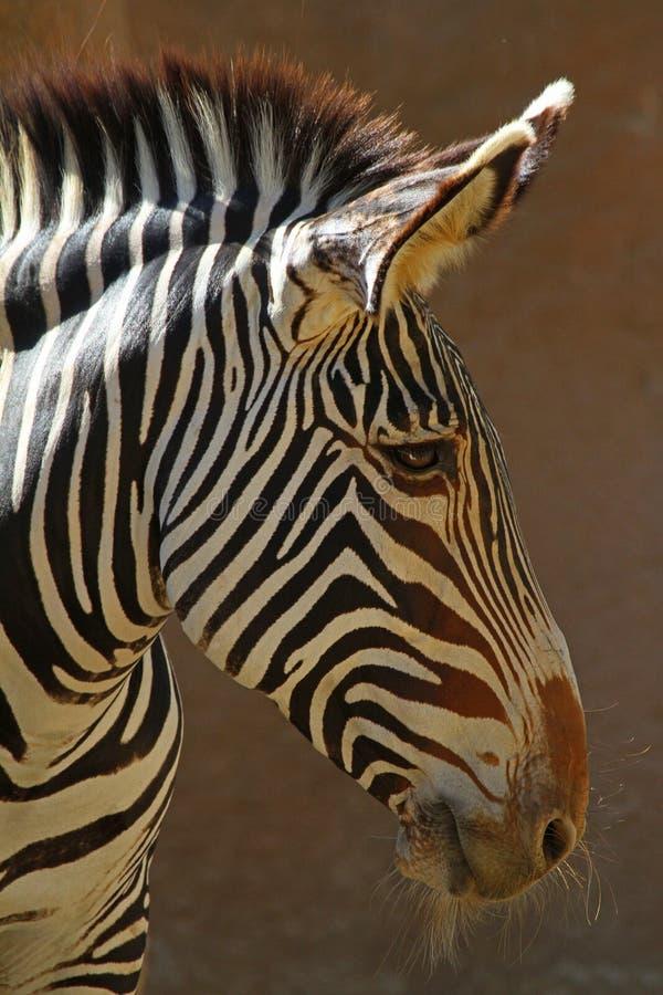 Download Zebra stock photo. Image of horse, bite, aggressive, anger - 27133350