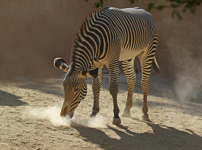 Download Zebra stock image. Image of forward, head, biting, dust - 27133415