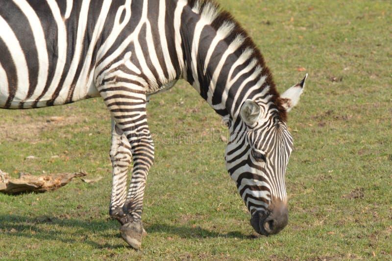 Download Zebra stock photo. Image of bush, equine, grazing, maasai - 27619264