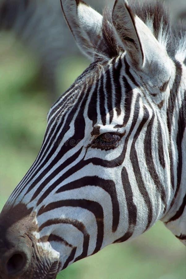 Zebra. A closeup of the head of a zebra royalty free stock photo