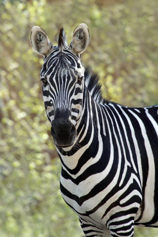 Zebra fotografia stock libera da diritti