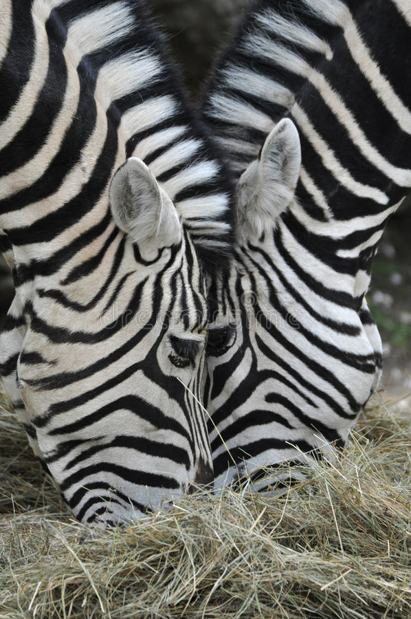 Free Zebra Royalty Free Stock Photography - 30786907