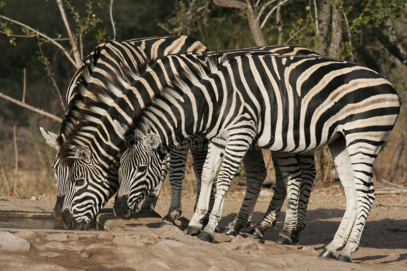 Download Zebra stock photo. Image of rich, aepyceros, natural, wild - 3467132