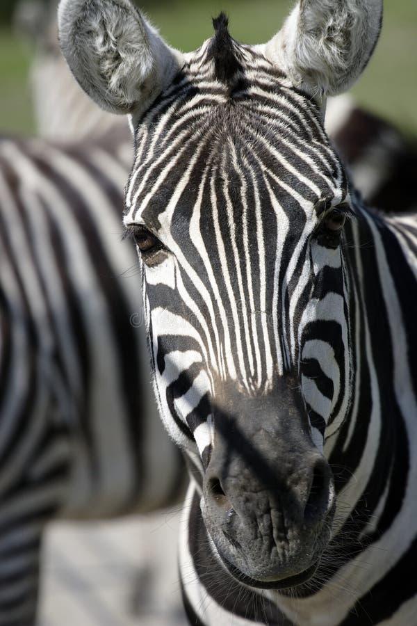 Free Zebra Royalty Free Stock Photos - 361728