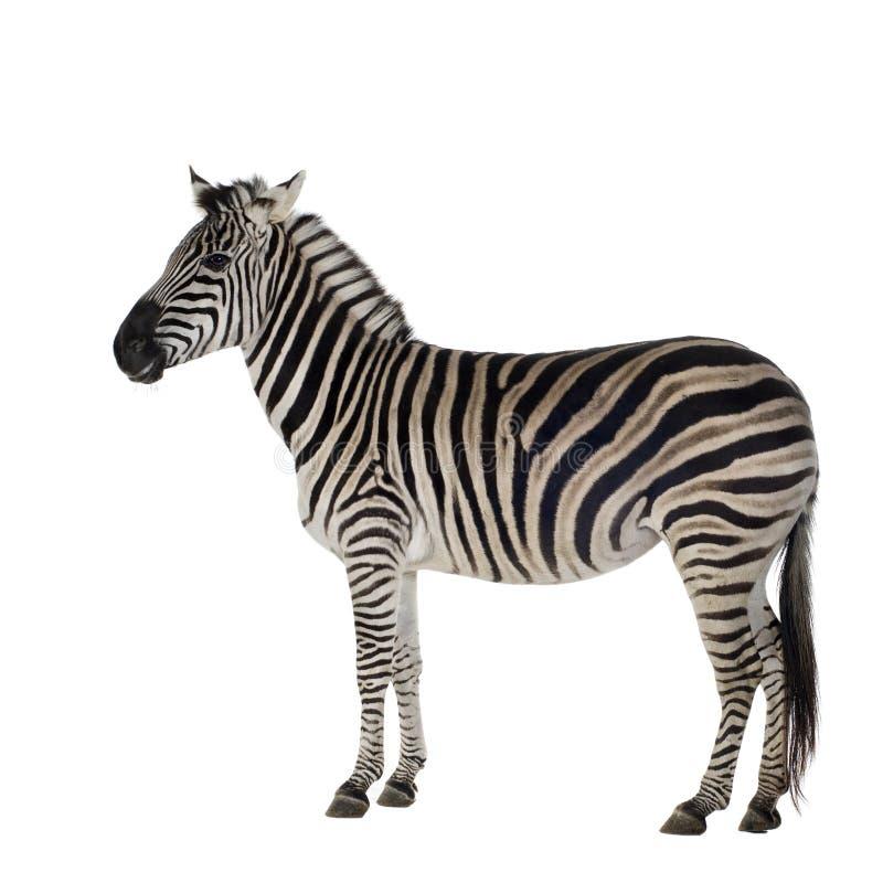 Zebra immagini stock libere da diritti